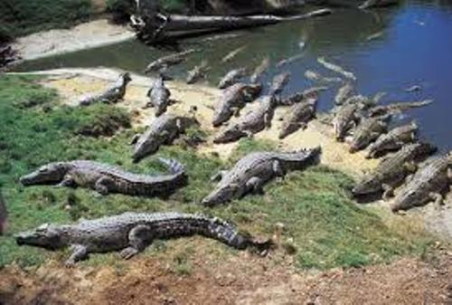 Crocodiles Pic