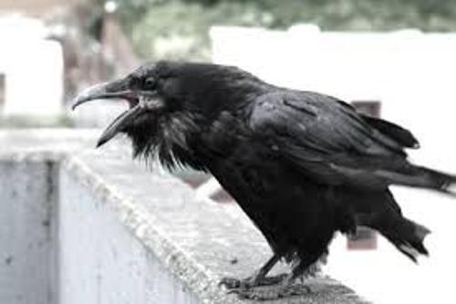 Crows Pic