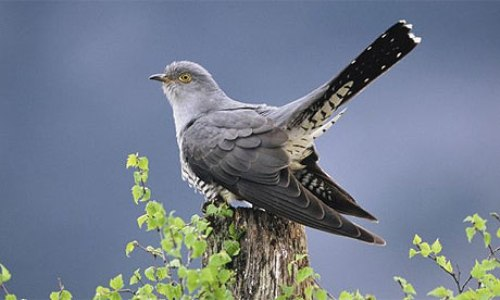 Cuckoos Images