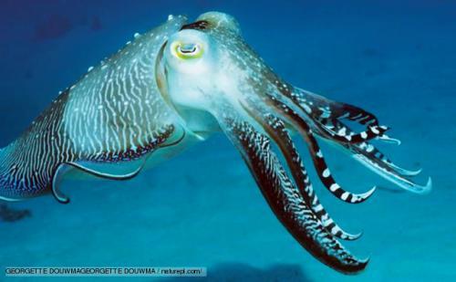 Cuttlefish Image