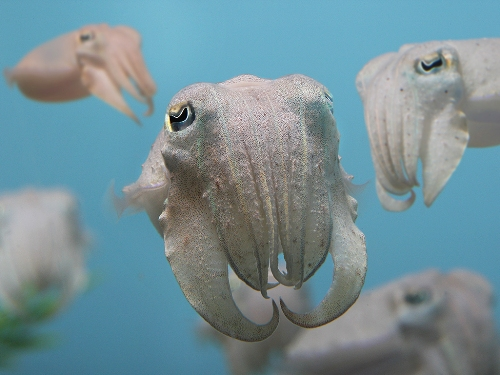 Cuttlefish Pictures