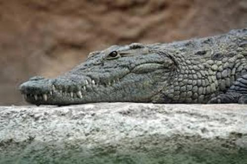 Facts about Crocodiles