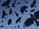 10 Facts about Crows