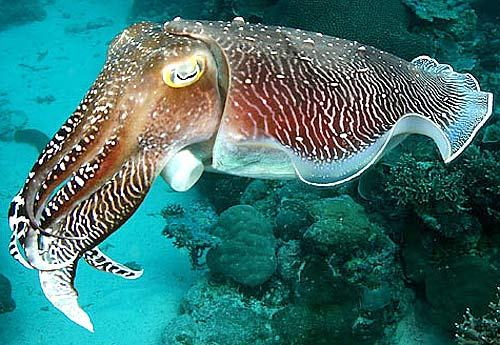 Facts about Cuttlefish