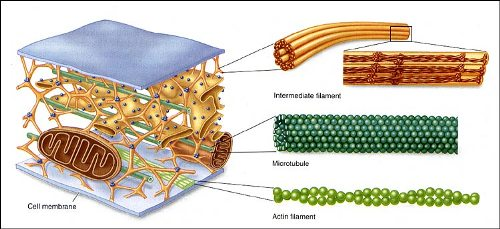 Cytoskeleton Facts