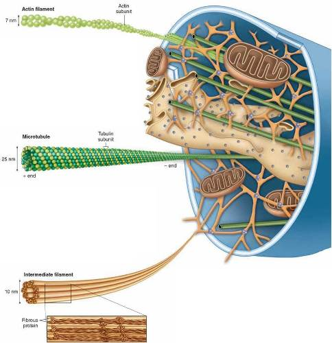 Microfilaments and microtubules in a plant cell