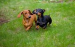 10 Facts about Dachshunds
