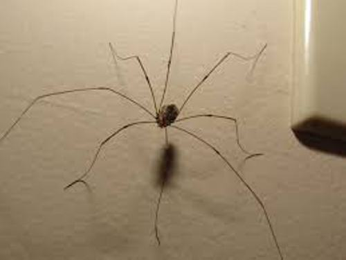Daddy Long Legs Facts