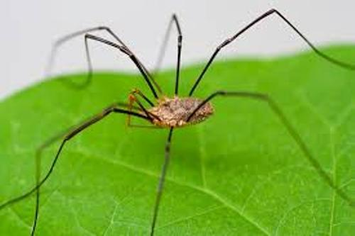Daddy Long Legs Images