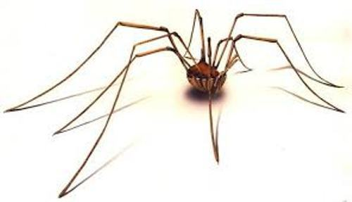 Daddy Long Legs Pictures