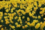 10 Facts about Daffodils