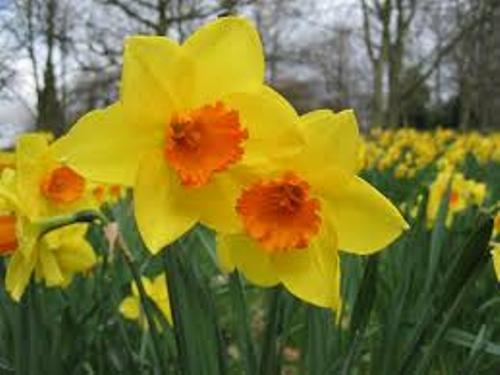 Daffodils Facts