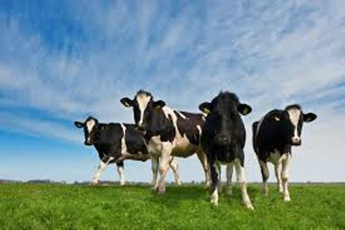 Dairy Cows Image