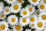 10 Facts about Daisies