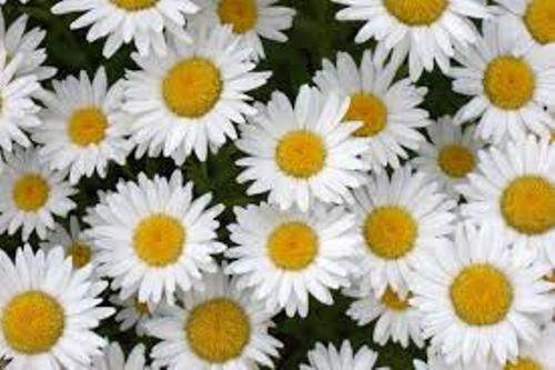 Daisies Facts