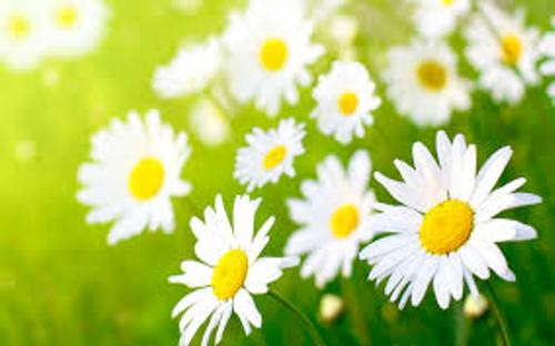 Daisies Images