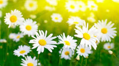 Daisies Pic