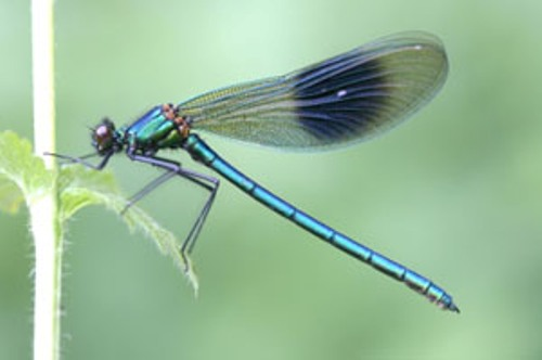 Damselflies Pictures