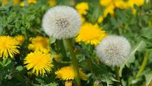 Dandelion Images