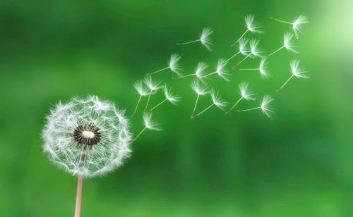 Dandelions Pic