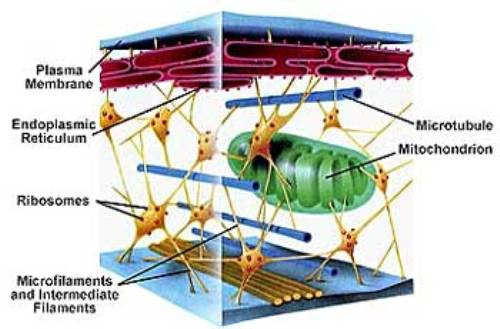 Facts about Cytoskeleton