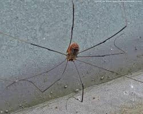 Facts about Daddy Long Legs