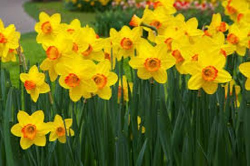 Facts about Daffodils