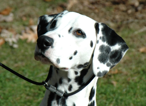 Facts about Dalmatians