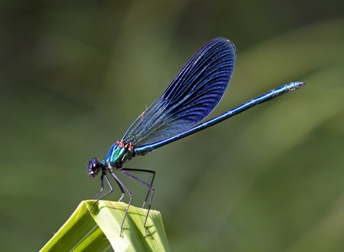 Facts about Damselflies