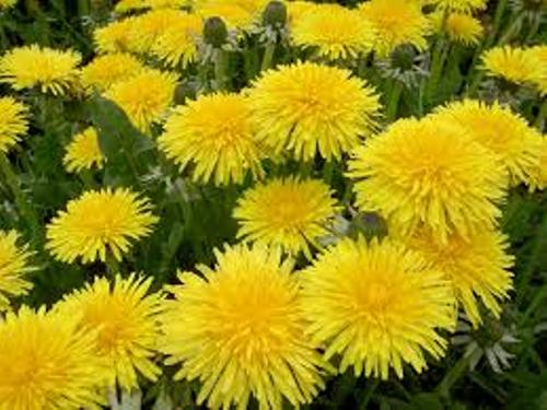 Facts about Dandelions