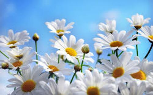 Facts about Daisies