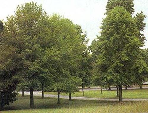 Deciduous Trees Pictures