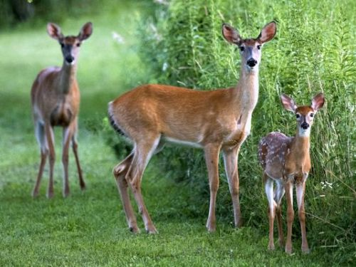 Facts about Deer