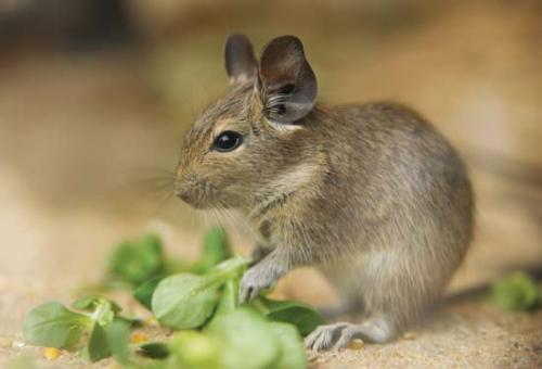 Facts about degus