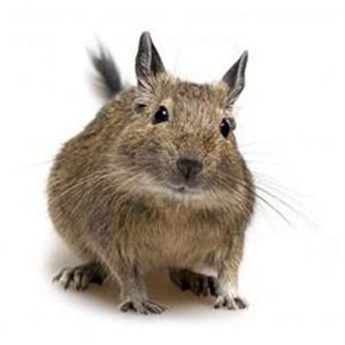degus Facts