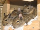 10 Facts about Degus