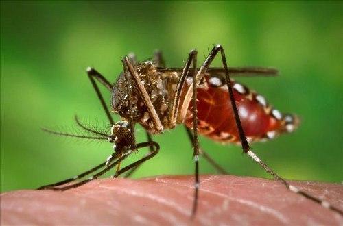Dengue Fever pic