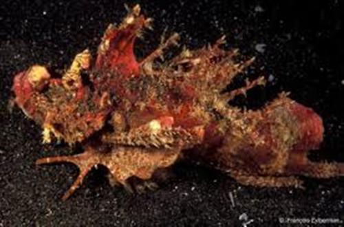 Devil Fish Pictures