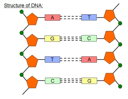 dna structure facts