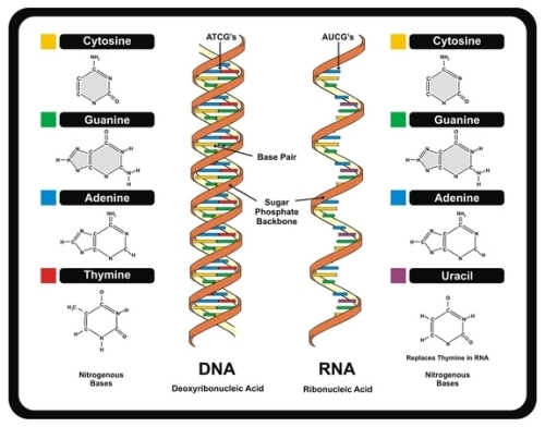 dna structure pic