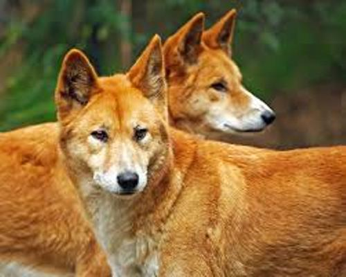 Dingoes Images