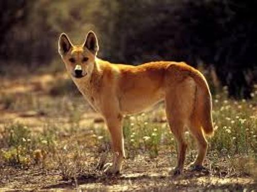 Dingoes Pic