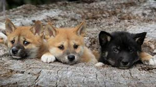 Dingoes Pictures