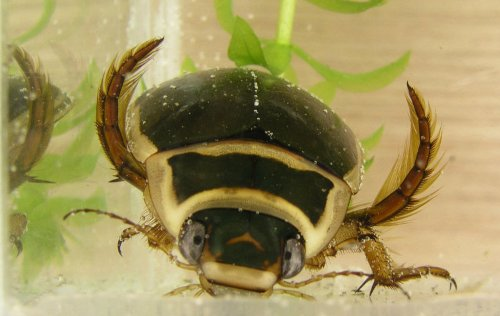 diving beetles pic