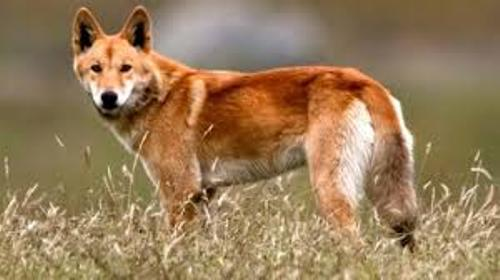 Facts about Dingoes