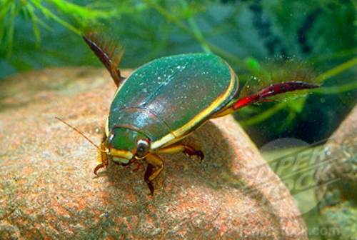 Facts about Diving Beetles