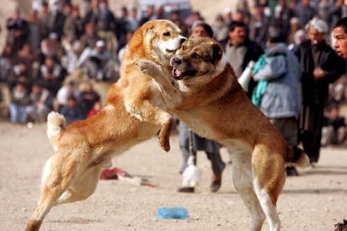 dog fighting pictures