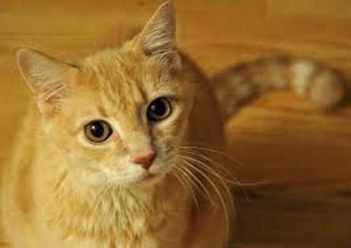 domestic cat facts