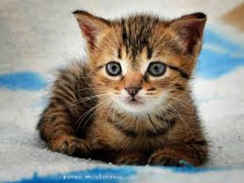 facts about domestic cats