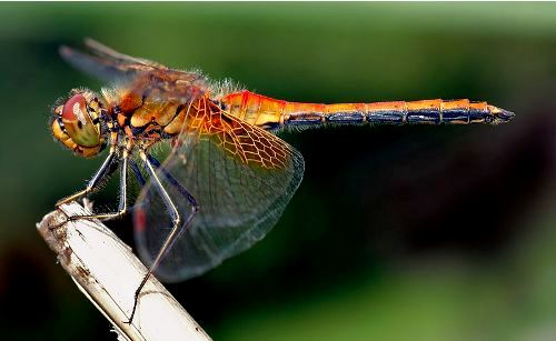 dragonflies pic